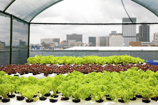Lettuce growing on the roof of FNB Bank City. Rooftop gardens are increasing access to employment, improving food security and teaching locals about hydroponic farming.