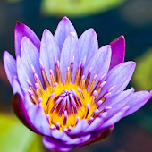 Water Lilies Flower Wallpaper