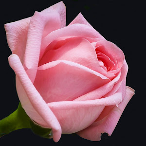 Pink Rose-2.jpg