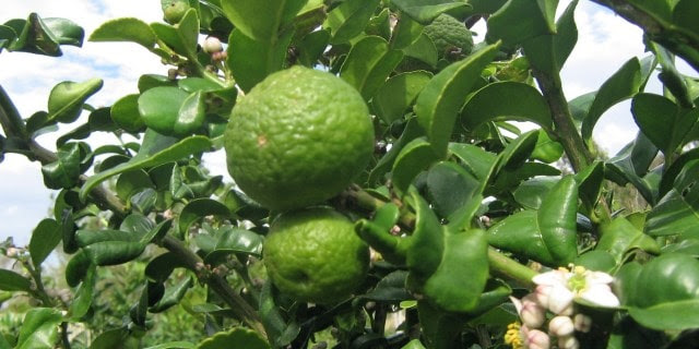 Kaffir Lime Tree