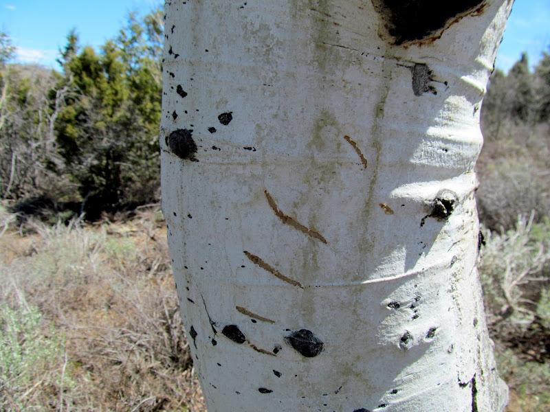 Photo: Bear claw marks on an aspen tree