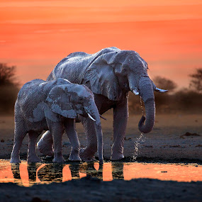 by Sue Green - Animals Other Mammals ( botswana, late evening, wildlife, elephant and calf )