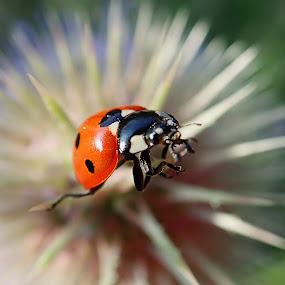 Ladybug by Boris Podlipnik - Animals Insects & Spiders ( macro, bugs, nature, ladybug, insect,  )