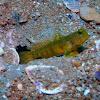 Yellow prawn-goby