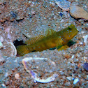Yellow prawn-goby