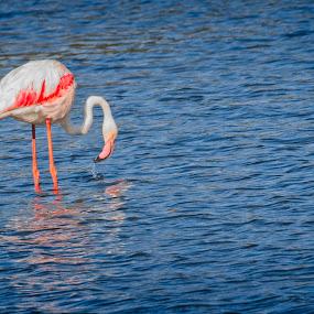 Lone Flamingo by Anne-Marie  Fuller  - Animals Birds ( nature, birds, nature photography, wildlife, flamingo,  )