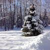 Picea abies / Ель обыкновенная