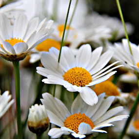 Marguerite Flower by Yola Vandergunst - Nature Up Close Flowers - 2011-2013 ( wild flower, bunga, spring, marguerite )
