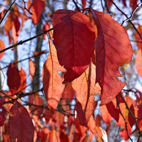 Leaves About to Fall by Dale Fillmore - Nature Up Close Leaves & Grasses ( falling, leaves, tree, autumn colors, autumn,  )