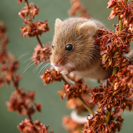 Harvest mouse by Garry Chisholm - Animals Birds ( mammal, nature, rodent, harvest mouse, mice, garry chisholm )