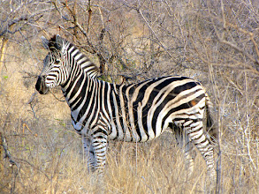 Photo: Kruger NP - zebra