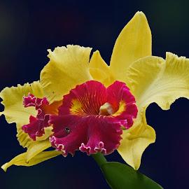 A Cattleya Sunrise by Reuss Griffiths - Flowers Single Flower ( gold, longwood gardens, yellow, maroon, orchid, flower )