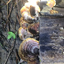 False Turkey Tail Fungus (& snails)
