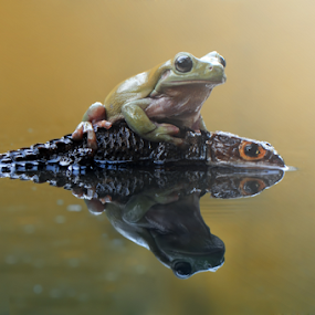 Dumpy Frog and Croc Skink by Riza Arif Pratama - Animals Amphibians ( water, reflection, frog, dumpy frog, croc skink, reptile, river, animal )
