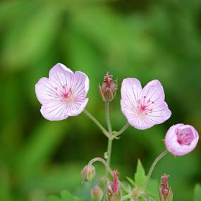 Grand Tetons Wild Flower by Karen Coston - Flowers Flowers in the Wild ( wildflowers, nature, look around, wyoming, pink, grand tetons,  )