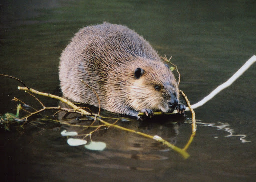 Beavers and Salmon: An Unexpected Alliance