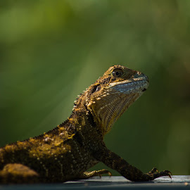 Eastern Water Dragon by Paul Coleman - Animals Reptiles ( dragon. water dragon, reptiles, eastern water dragon, australia, lizard )