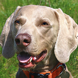 Gentle Monty by Chrissie Barrow - Animals - Dogs Portraits ( weimaraner, smooth, mouth, pet, male, fur, ears, fawn, dog, nose, cream, portrait, eyes )