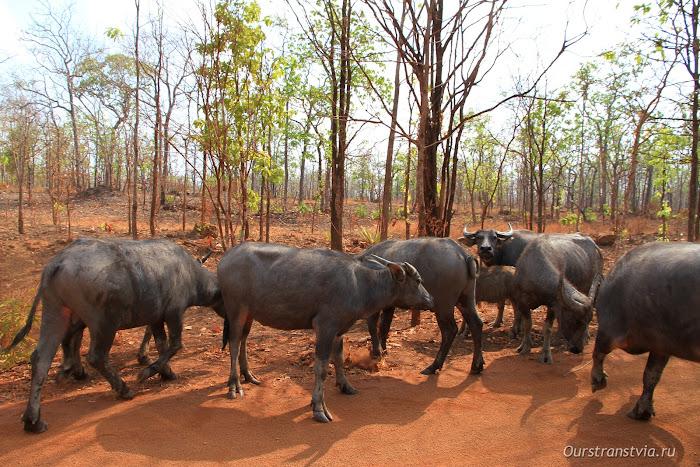 Дикие буйволы в Камбодже