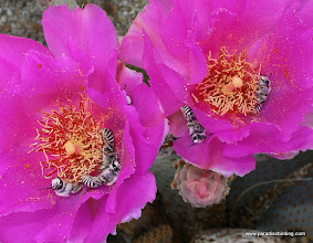 Photo: Intoxicated bees in beavertail cactus blossoms, Anza Borrego Desert