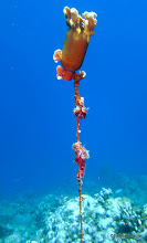 Photo: Coral grown over and adapts the shape of a bottle used as a marker buoy!