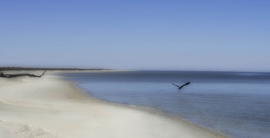 Bird leaving by Barb Hauxwell - Landscapes Beaches ( water, sand, dauphin island, alabama, beach, waterscapes, log, island, bird, beach art, flight, flying, sky, blue, wings, shoreline, bird art, peninsula,  )