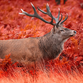 The red king by Peter Kostov - Animals Other Mammals ( deer, stag, nature, mammal, fauna, animal, wildlife )