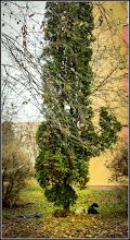 Photo: Conifere , din Turda, Calea Victoriei, alee Mr.2  - 2018.11.20