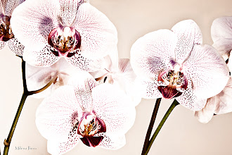Photo: ...smile - the world is beautiful....  Happy Friday/Floral Friday, Everyone!   Some of you maybe remember my orchid from last week...Here is another artistic presentation of its natural beauty....  Contribution to #floralfriday  +FloralFriday by +Tamara Pruessner; #breakfastclub  +Breakfast Club by +Gemma Costa; #feelgoodfriday  +FeelGoodFriday by +Rebecca Borg and +Jason Borg  #canon   #canonusers +Canon Users; #plusphotoextract   #PlusPhotoExtract #photography #potd ;  View larger image and more works from White Floral Gallery: http://milenailieva.smugmug.com/Galleries/White/23922375_7Rj7sf#!i=2314802442&k=wJNdTBz