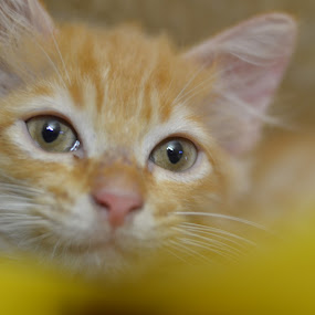 by Azman Jaeh - Animals - Cats Kittens