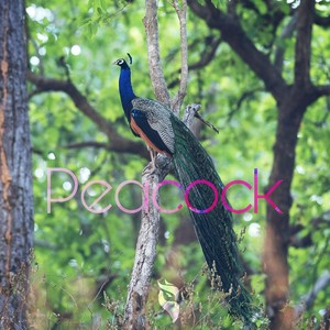 Peacock Upload Your Music Free