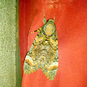 lesser death's head hawkmoth or