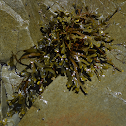 Unknown Rockweed