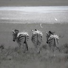 Silver Zebras by Dawie Nolte - Black & White Animals ( behinds, black and white, zebra, stripes, zebras )