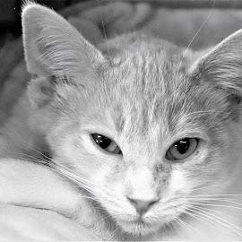 Lockie by Linda    L Tatler - Animals - Cats Kittens ( pets, cats, feline, animal, kittens,  )