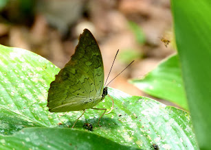 Photo: TWO-SPOTTED PREPONA--archaeoprepona demophoon--APUYA TRAIL--A MOST WANTED SPECIES