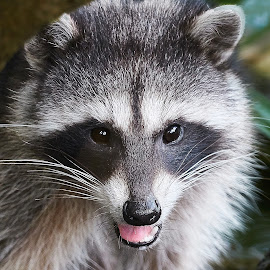 Raccoon 879~ by Raphael RaCcoon - Animals Other Mammals