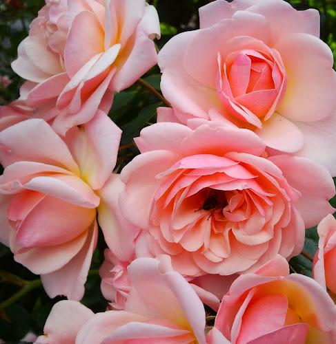 roses by Liliana Lesu - Flowers Flower Gardens ( gentle, flowers with visitors, roses, flowers, garden, flowers from garden,  )
