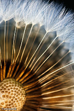 Photo: Dandelion....