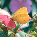 Orange-Barred Sulphur / Borboleta-Gema