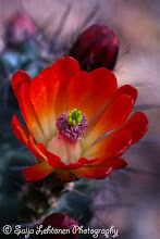 Photo: saija-lehtonen.artistwebsites.com  #cactusflower  #cactusthursday  #cactus  #flowerphotography  #flowerscolor  #floralphotography  #floraltoday  #boldandbeautiful  #nature  #southwest