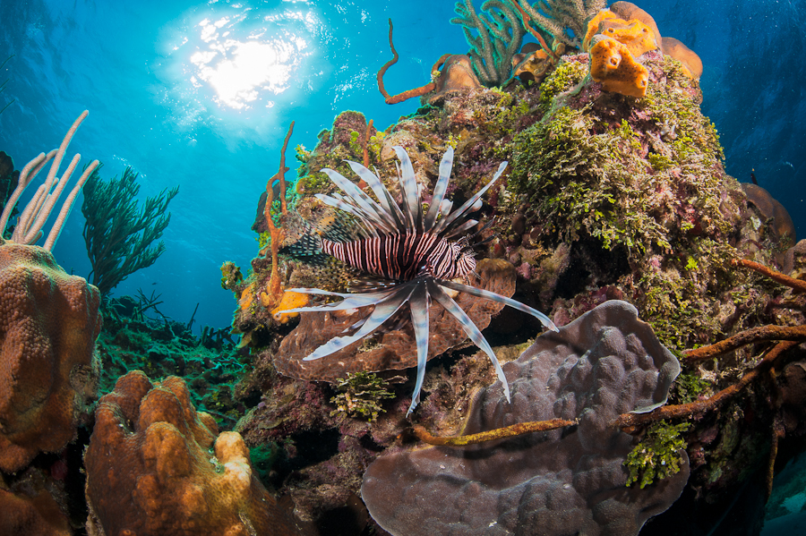 Lionfish by George Stoyle - Animals Sea Creatures ( marine, coral reef, underwater, lionfish, fish, tropical, caribbean )