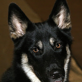 Beau by Chrissie Barrow - Animals - Dogs Portraits ( crossbreed, fur, husky, white, puppy, german shepherd, black, gerberian shepsky, brown, dog, pet )