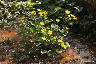 Photo: Marsh marigolds