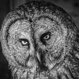 Great Grey by Garry Chisholm - Black & White Animals ( bird, garry chisholm, nature, owl, wildlife, prey, raptor )