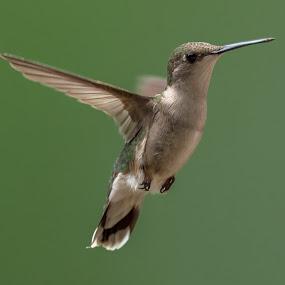 Hummer by Mike Watts - Animals Birds ( bird, humming bird, hummer )