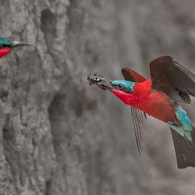 Carmine bee eater by Rian Van Schalkwyk - Animals Birds ( carmine bee eater, colourful, nesting, feeding, bee eater,  )