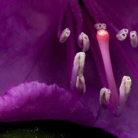 Rhododendron  by Bud Branch - Nature Up Close Flowers - 2011-2013 ( flower macro )