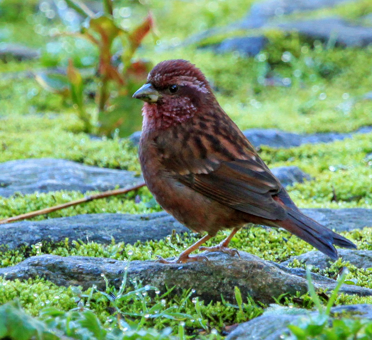 Pink-Browed Rosefinch