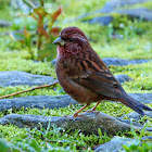 Pink-Browed Rosefinch